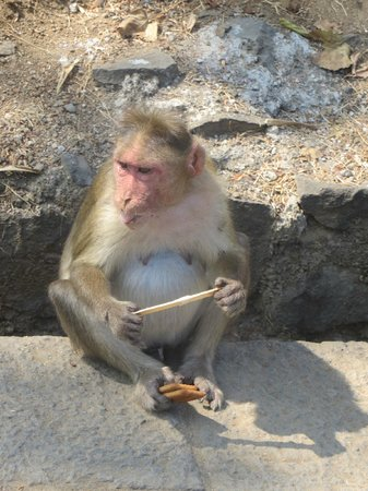 Elephanta Caves: Greedy Monkey eating icecream and saving biscuits for later :D
