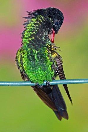 Barney's Flower & Hummingbird Garden Jamaica: A young male hummingbird