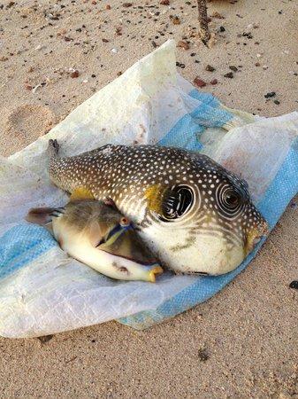 Brayka Bay Reef Resort: Pesce Palla and friend pescati da un gruppo di pescatori
