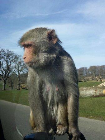 Longleat: Monkey!
