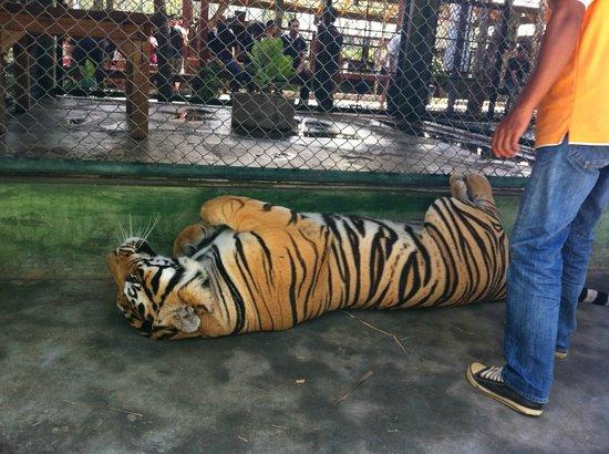 Tiger Kingdom : Big Tiger