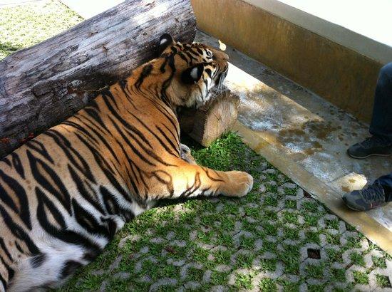 Tiger Kingdom : Another Big Tiger