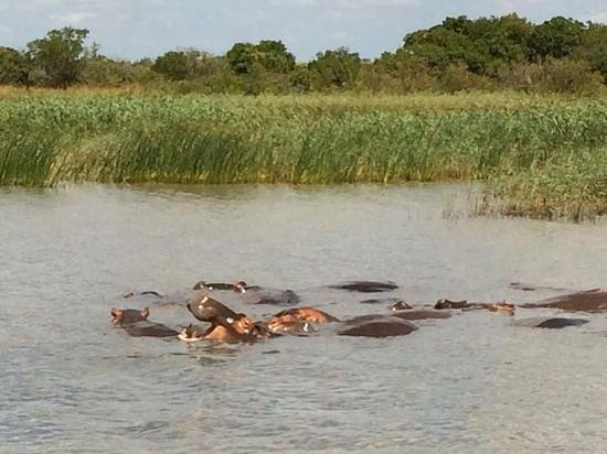 Wendy's Country Lodge: Hippos at St Lucia