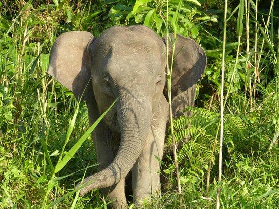 Osman's Homestay: Seltene Pygme-Elefanten