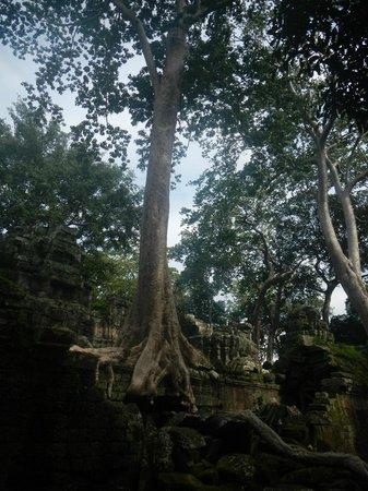 Ta Prohm : 樹木