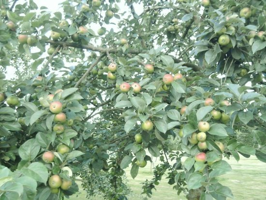 Le Clos du Quesnay: Apples in the orchard
