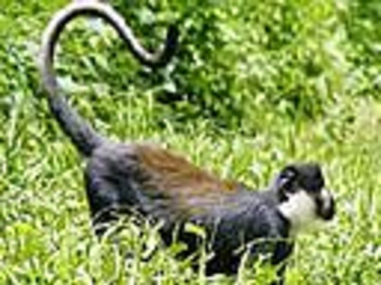 Kibale National Park: L'Hoest monkey