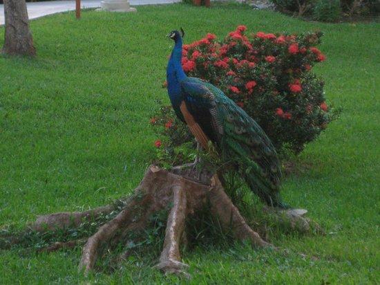 Iberostar Paraiso Beach: Local wildlife near the main lobby