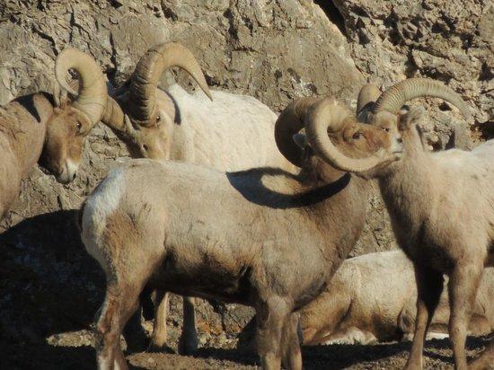Alltrans: Big Horn Sheep