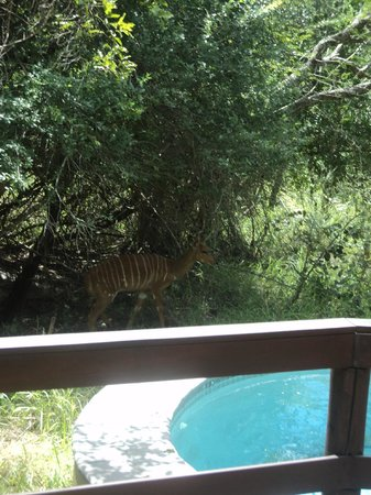 Londolozi Founders Camp : Nyala checking out our pool