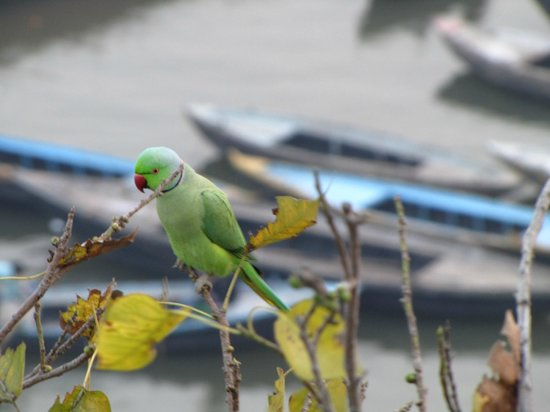 A Palace on the River, Rashmi Guest House: Parrot's outside our window