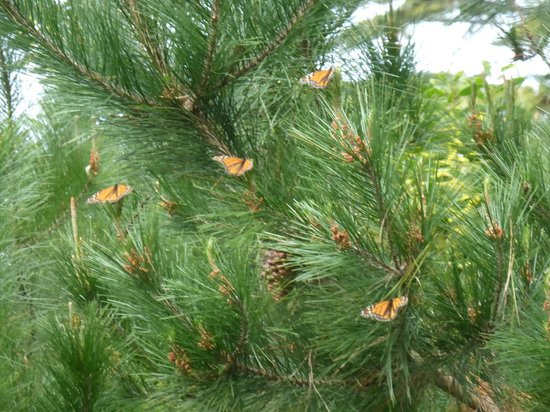Monarch Grove Sanctuary : They seem to love the pine trees