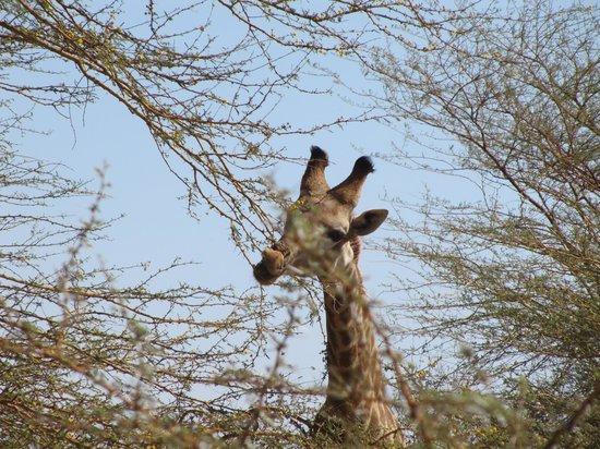 Reserve De Bandia: giraffa