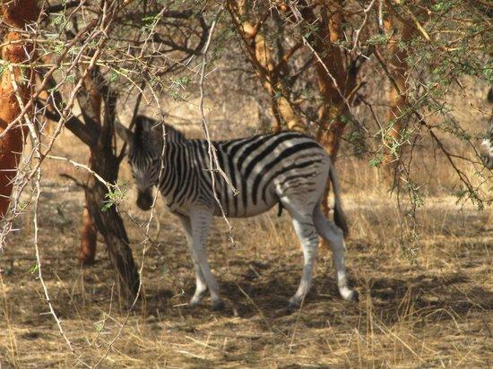 Reserve De Bandia: zebra