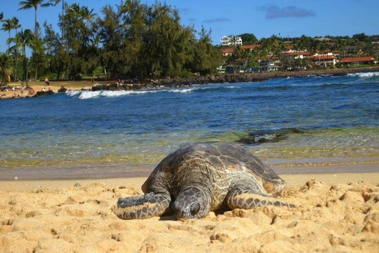 Marriott's Waiohai Beach Club: turtle laying on beach