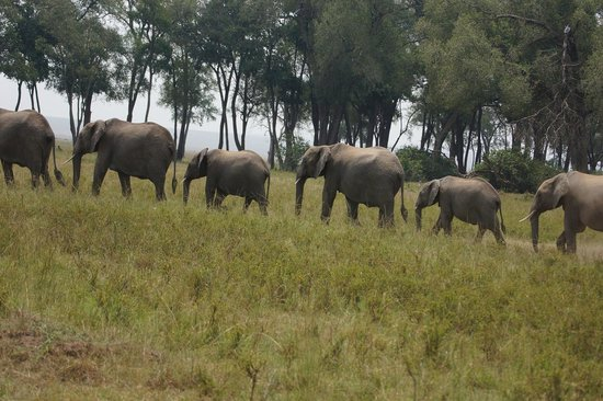 Governor's Camp: Elephants after crossing the river