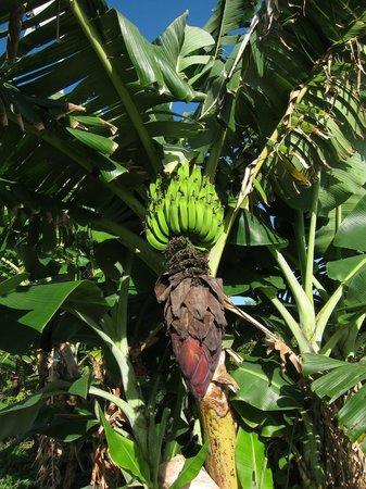 Hawaii Island Retreat at Ahu Pohaku Ho`omaluhia: Apple Bananas grown on the property