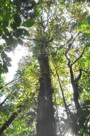 Rio Celeste Hideaway Hotel: A massive tree on the hike to the river
