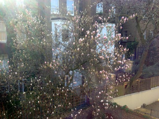 London Town Hotel : The magnolia tree which was just coming into blossom, from the terrace.