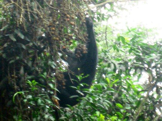 Nyungwe National Park : chimps