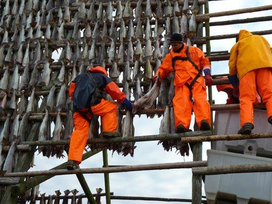 Svinoya Rorbuer - BaseCamp Lofoten: Cod hung on frames to be air dried
