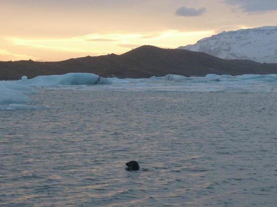 Gletscherlagune Jökulsárlón: Seal swimming- Jokulsarlon