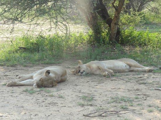 Sanctuary Makanyane Safari Lodge: The lions sleep