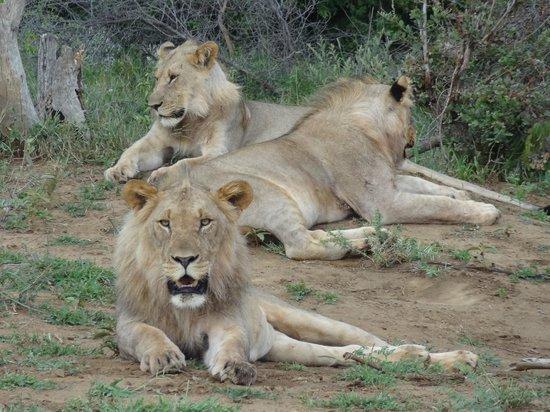 Sanctuary Makanyane Safari Lodge: Pride of lions
