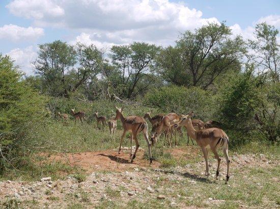 Sanctuary Makanyane Safari Lodge: Impala