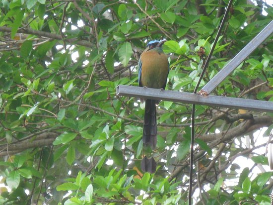 Hotel Villas Escondidas: Blue-capped MotMot from courtyard.