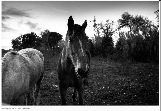 Le Mas Saint Florent : les chevaux du pré d'à coté