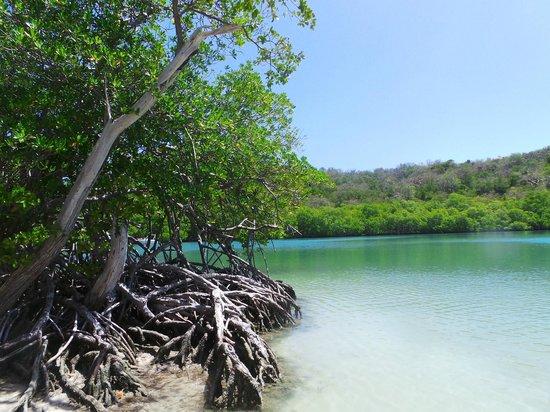 Fonds Blancs: mangrove