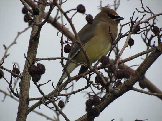 Waterfront Park: นก Cedar Waxwing