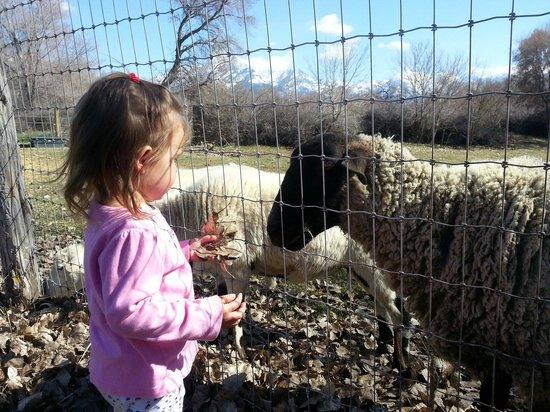 Wheeler Historic Farm: Here lamby, lamby, lamby...
