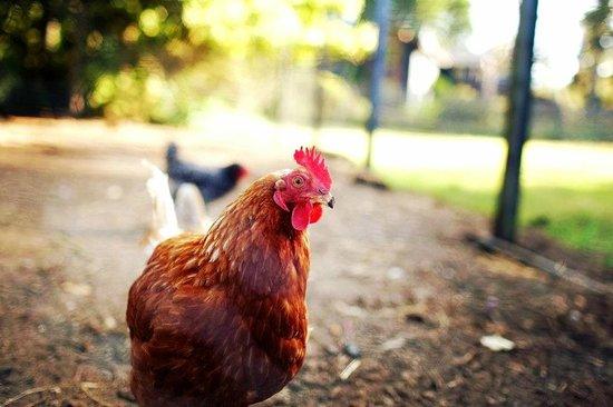 Glendeven Inn Mendocino: Over 100 chickens for breakfast eggs
