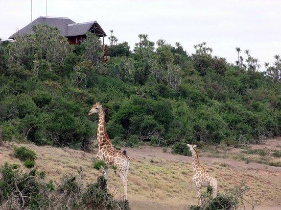 Addo Afrique Estate: Addo Afrique Giraffe Lodge View