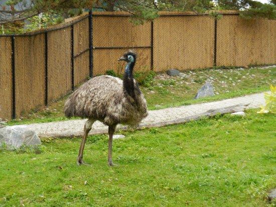 Toronto Zoo: Emu