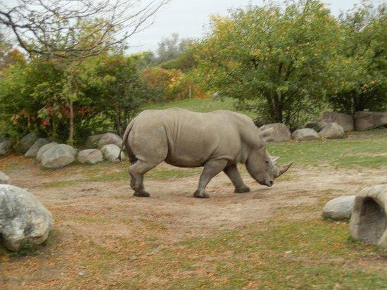 Toronto Zoo: White rhino