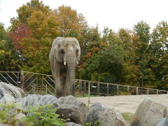 Toronto Zoo: African elephant