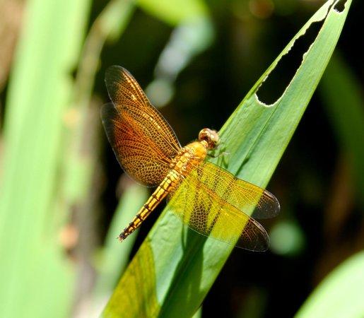 Villa Seriska Satu, Sanur: Dragonflies around the villa