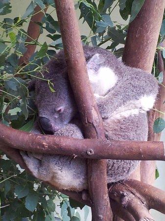 Sydney Tours-R-Us: A sleeping Koala at the Wild Life Park