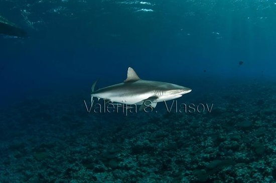 Manta Ray Bay Resort: Grey reef shark