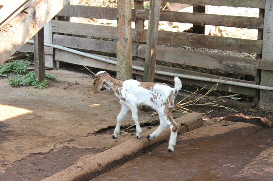 Blooms Green Farm : Its the goat in the farm