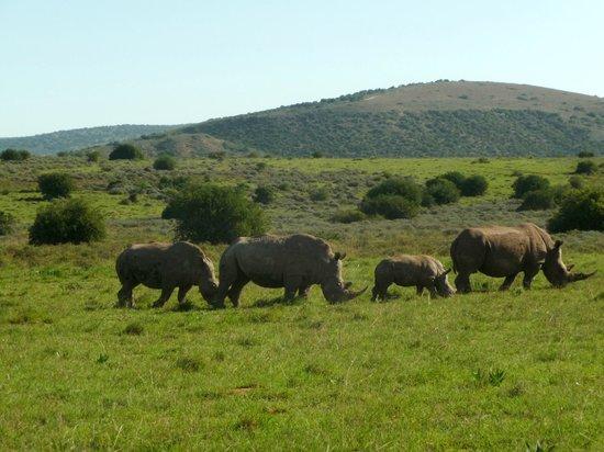 HillsNek Safaris, Amakhala Game Reserve : Famille de Rhinocéros blanc