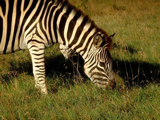 HillsNek Safaris, Amakhala Game Reserve : zèbre