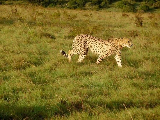 HillsNek Safaris, Amakhala Game Reserve: Guépard