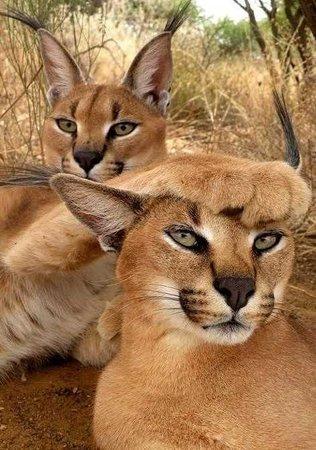 Jukani Wildlife Sanctuary : Caracal