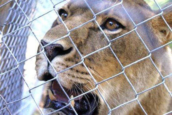 Jukani Wildlife Sanctuary: Lioness