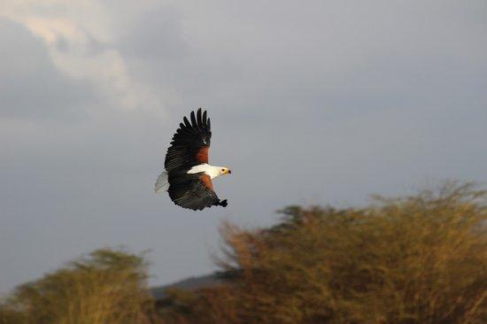 Enashipai Resort & Spa: Fish Eagle
