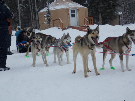 Just Short of Magic: These dogs can't wait to get on the trail.